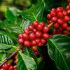 Vörös kávészemek, mint alkotói a DR Hair-nek.