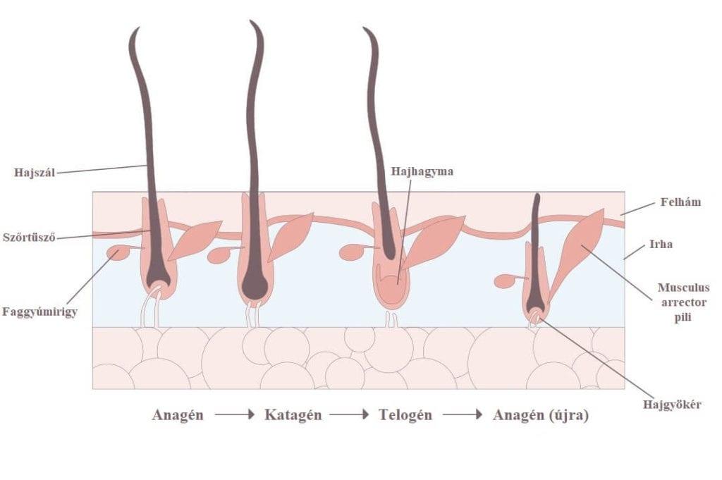 A képen a haj életciklusának illusztrációja látható, kezdve az anagén fázissal, amit a katagén és telogén fázisok követnek hogy az utolsó fázis végén a folyamat teljesen újraindulhasson.